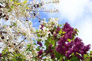 Fruktträd i blommning